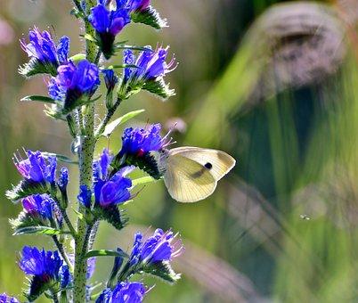 Slangenkruid, Cabbage White, Flower, Butterfly, Blue