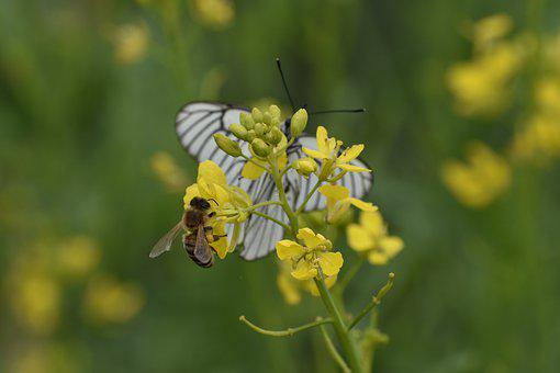 Butterfly, White, Cabbage Butterfly, Bee, Flower