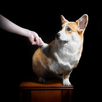 Dog, Corgi, Pets, Animal, Welsh Corgi Pembroke