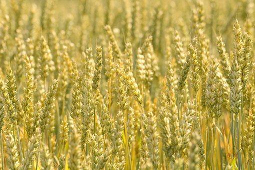 Grain, Wheat, Ears Of Corn, Field, Crop, Agriculture