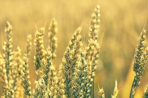 Grain, Wheat, Field, Ears Of Corn, Crop, Summer