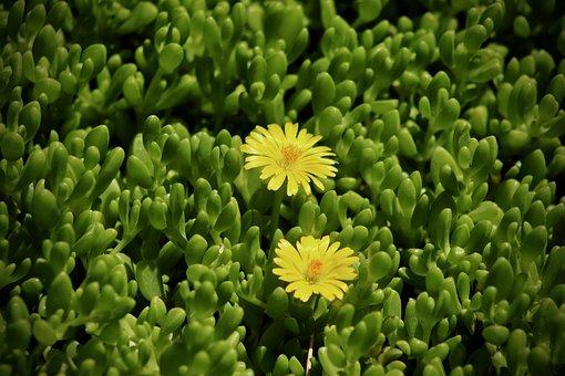 Ice Plant, Delosperma's, Flowers, Yellow, Green