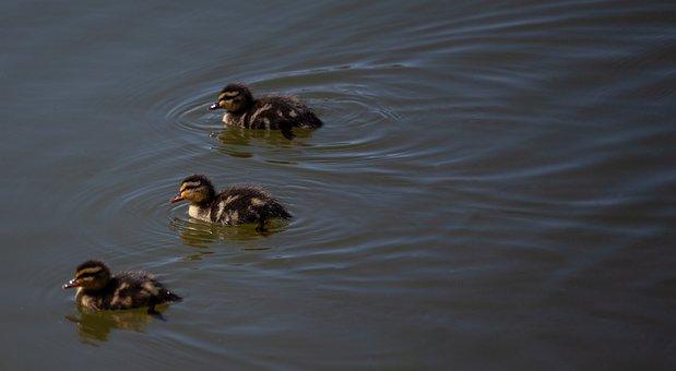 Three Ducklings, Duckling, Baby Duck, Duck, Young, Baby