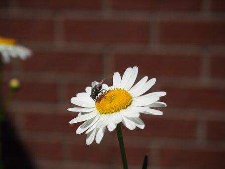 Marguerite, Flower, Flowers, Nature, White, Bloom