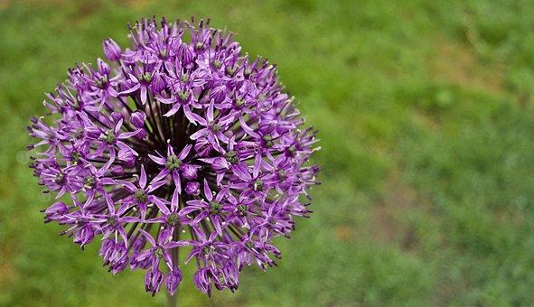 Hagymavirág, Flower, Nature, Mood