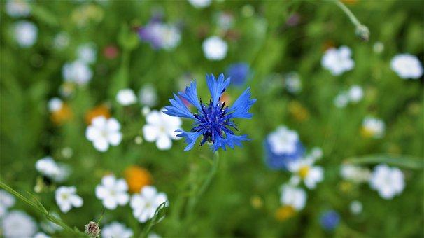 Cornflower, Blue, Meadow, Flowers, Summer, Bloom, Field