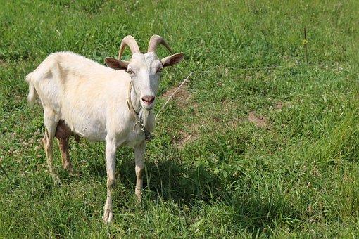Goat, Greens, Grass, Green, Nature, Meadow, Summer