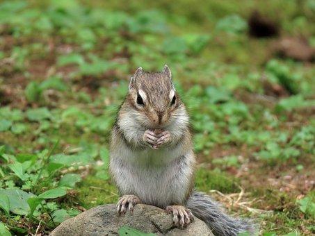 Animal, Squirrel, Chipmunk, Cute, Diet, Green, Grass