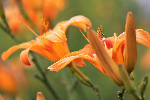Day Lily, Wild Lily, Hemerocallis Fulva, Orange, Green