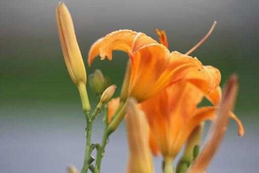 Day Lily, Wild Lily, Hemerocallis Fulva, Orange, Green
