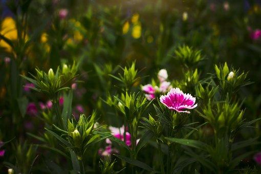 Dianthus Flower, Herb, Sunshine, Morning, Fresh, Pink