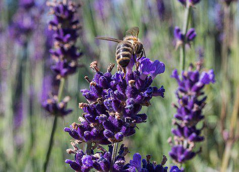 Lavender, Nature, Plant, Flower, Insect, Macro, Summer