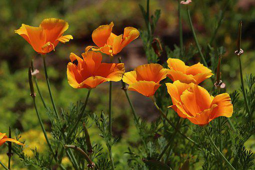 Eschscholtzie, Gold Poppy, California, Kappenmohn