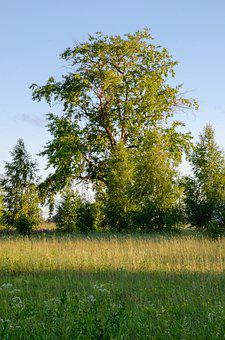 Linden, Tree, Leaves, Green, Colorful, Sunny, Nature
