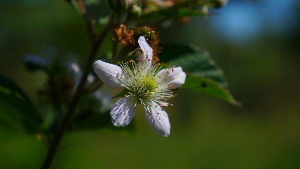 Nature, Plants, Flowers, Blackberry, Garden, Light