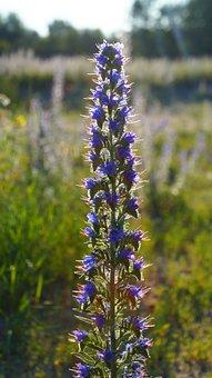 Nature, Plants, Flower, Grasshopper, Meadow, Blue