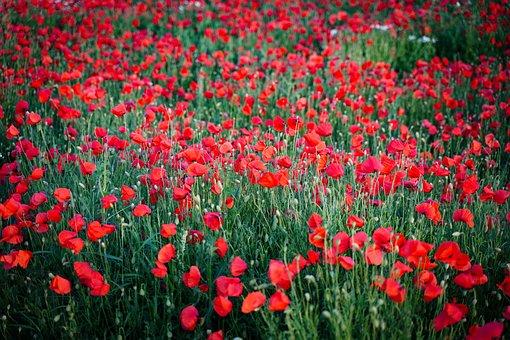 Poppy, Poppies, Red, Bloom, Mohnwiese Poppies, Meadow