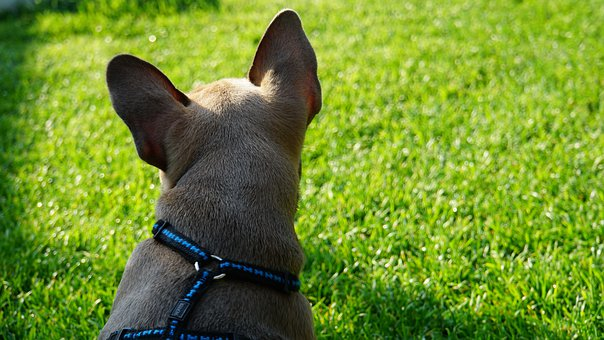 French Bulldog, Puppy, From The Rear, Move, Fur, Beige