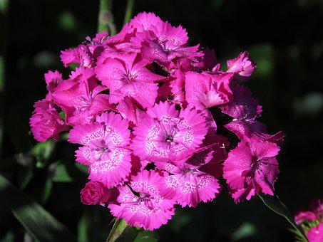Clove, Flower, Scarlet, Bloom, Nature, Summer, Flora