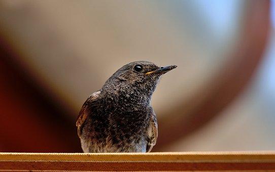 Bird, Redstart, Nature, Garden