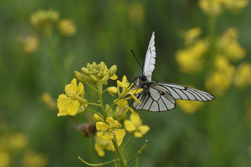 Butterfly, White, Cabbage Butterfly, Flower, Nectar