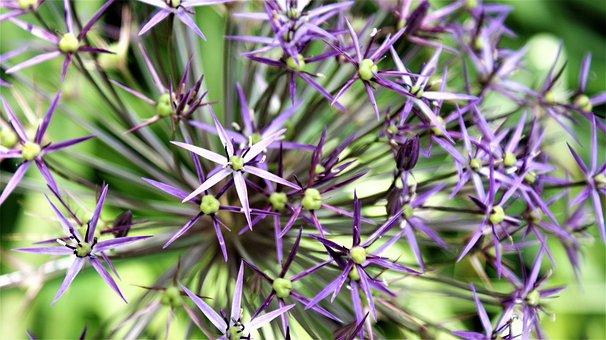 Around, Ornamental Onion, Asterisks, Flower, Flowers