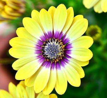 Spanish Margriet, Flower, Petals, Beautiful, Margriet
