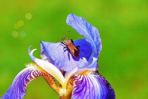 Connector Straszyk, Pluskwiak, Insect, Flower, Iris