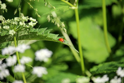 Ladybug, Leaf, Insect, Beetle, Points, Red