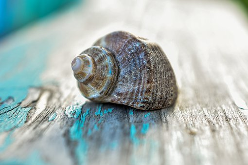 Seashell, Old, Wood, Shell