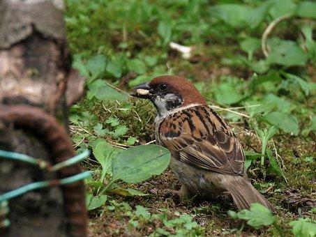 Animal, Bird, Wild Birds, Sparrow, Diet, Green, Grass