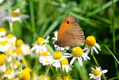Butterfly, Daisy, Nature, Summer, Insect, Flowers