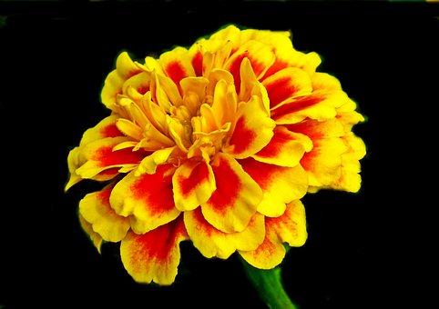Marigold, Flower, Colored, Nature, Garden, Summer