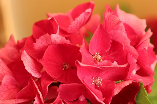 Hortenzia, Flower, Summer, The Beauty Of The, Pink