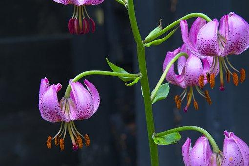 Lily, Turk's Cap, Turban Lily, Wildflower, Native