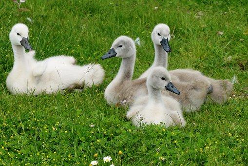 Swan, Chicks, Nature, Waterfowl, Animal World, Cygnet