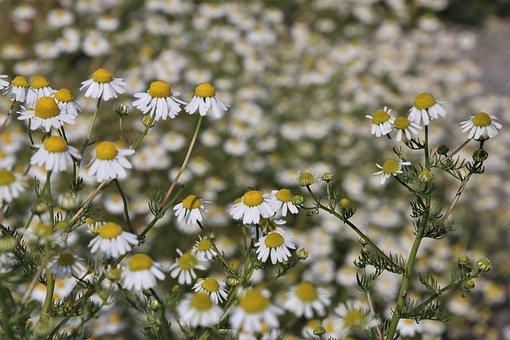 Margarita, Wild Flowers, Composites, Meadow, White