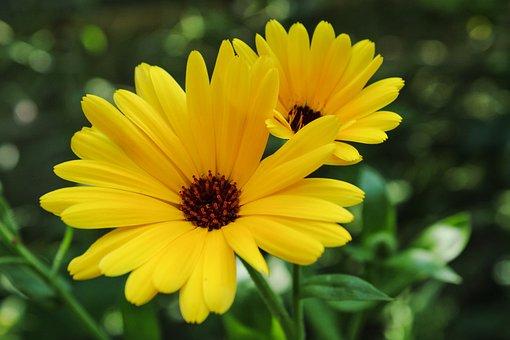 Wildflower, Daisy, Yellow, Bloom, Blossom, Macro, Flora