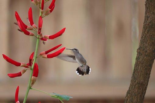 Red Flower, Hummingbird, Bird, Garden, Wildlife, Animal