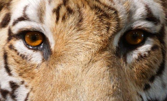 Tiger, Close Up, Eye, View, Animal, Carnivores, Big Cat