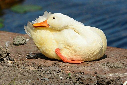 Duck, Mallard, Water Bird, Female, Animal, Feather