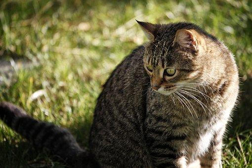Cat, Animal, Predator, Cats, Fur, Tiger, Dangerous