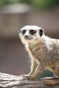 Meerkat, Animal, Wildlife, Africa, Wild Animal, Nature