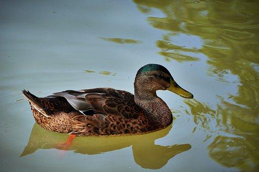 Duck, Feathers, Animals, Ave, Plumage, Peak