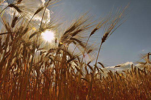Cereals, Cornfield, Barley, Barley Field, Spike, Awns