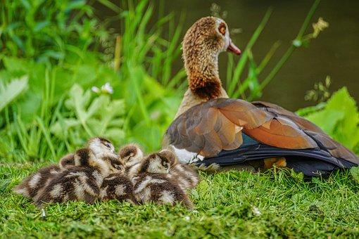 Nilgans, Chicks, Water Bird, Goslings, Bird, Nature