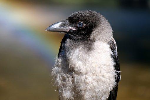 Crow, Young Bird, Bill, Bird, Young Animal, Plumage