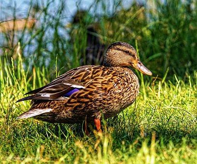 Wild Duck, Bled Lake, Slovenia
