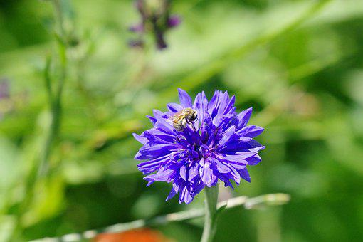 Bee, Cornflower, Nature, Blossom, Bloom, Blue, Summer