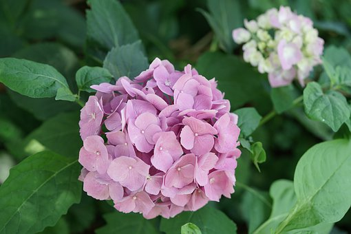 Summer, Flower, Bloom, Pink, Hydrangea, Petals, Flora